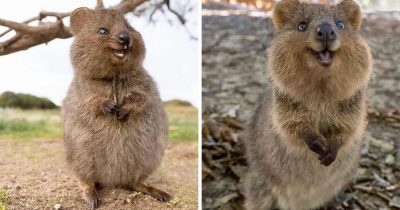 Quokkas Are The 'Happiest Animal In The World' And These Photos Prove It