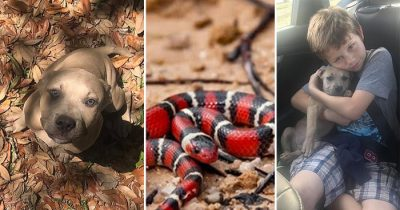 Pit Bull Puppy Died Protecting Owner's Kids From Venomous Coral Snake