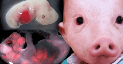 Japan Is Going To Allow Scientists To Create Human-Animal Hybrids