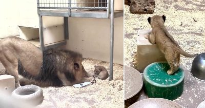 Lion Dad Crouches Down To Meet His Cub For The First Time And It's Too Adorable