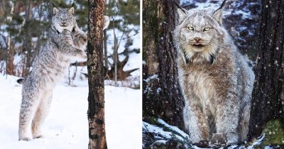 Canadian Lynx Cat Is Probably The Largest And Fluffiest Kitties Ever