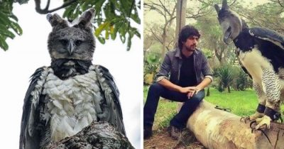 Meet Harpy Eagle, The Huge Bird, Everyone Think It's A Person In A Costume