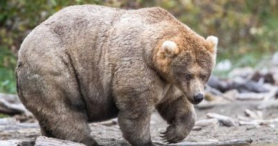 A National Park In America Organized The Fattest Bear Competition And Here're Its Best 8 Chonky Fluffs