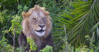 Lion Frightened Photographer With Loud Roar, Then Smiled At Him