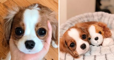 This Cute 2-Year-Old Puppy Is So Little That It's Difficult To Believe He's Fully Grown