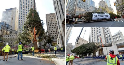 77-Foot Norway Spruce Tree Installed In NYC's Rockefeller Center