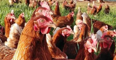 Man Mistakenly Bought 1,000 Chickens Online For $1