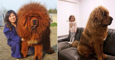 People Are Posting Hilarious Pics Of Tibetan Mastiffs, And They Look Truly Gentlest Giants