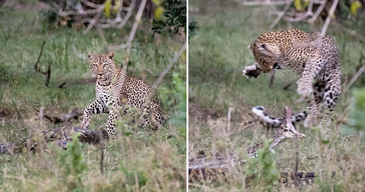 Python Tries To Swallow Leopard, Immediately Regrets It