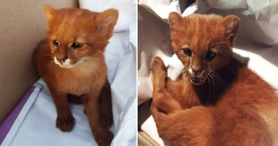 Girl Shocked To Find Out Her Adopted Stray Cat Is Actually A Puma