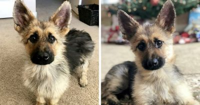 This 2-Year-Old German Shepherd Will Always Look Like A Tiny Puppy Due To A Rare Condition