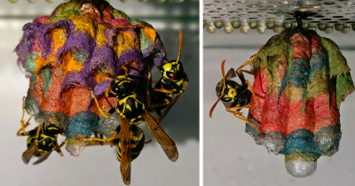 Wasps Build Rainbow Nests When They Are Given Colored Paper