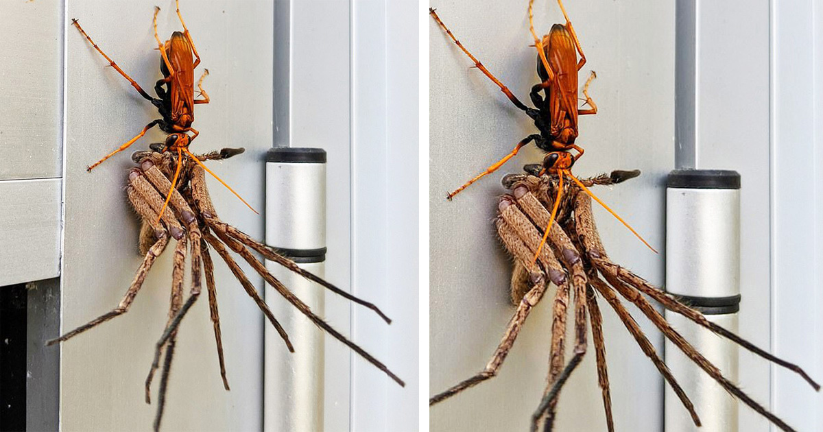 Huge Tarantula Hawk Wasp Carrying Off A Dying Huntsman Spider For A Feast Goes Viral