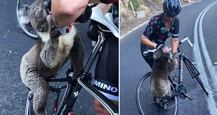 Thirsty koala Stops Cyclist And Climbed Onto Her Bike To Took Sips Of Water From Bottle In 40C Weather