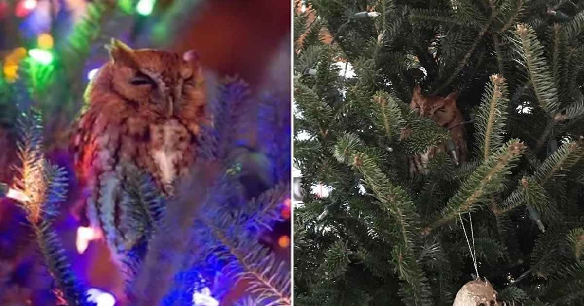 Family Finds An Owl Hiding In Their Christmas Tree, Hugging It