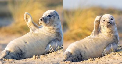 Cheerful Seal Pup Waves To The Camera At A Norfolk Beach