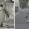 Lala the pet penguin lives with humans and makes regular trips to the fish store.