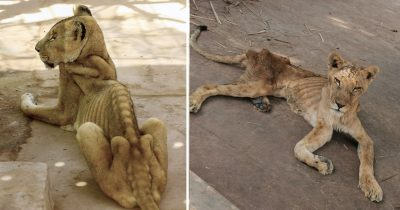 Horrifying Pics Of Starving Lions In Sudan Park Spark Campaign To Save Them