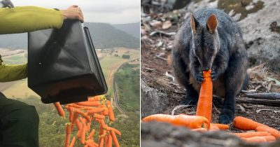 Planes Are Dropping Tons Of Carrots And Potatoes For Hungry Animals In Australia