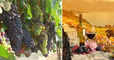 Climate Change May Wipe Out Over Half Of The World's Wine Growing Regions