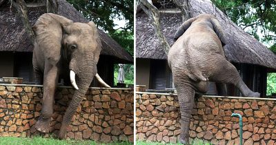 Elephant Carefully Climbs Over 5ft Wall In Attempt To Steal Mangoes