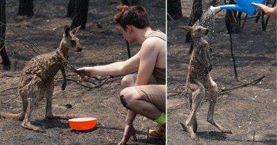 Young Kangaroo Begs Boy For Help After Being Burnt In Bushfires