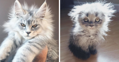 Adorable pictures of Maine Coon kittens.