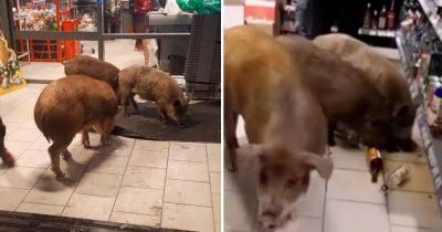 Three Pigs Broke Into Supermarket, Smashed Bottles And Drank Whiskey