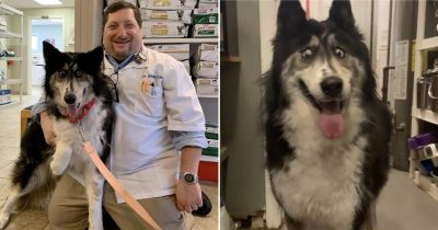 Husky Abandoned For Looking Like A Bad Taxidermy Finally Finds Forever Home