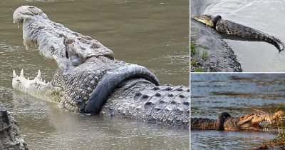 Reward Is Offered To Anyone Brave Enough To Get Rid Of A Tyre Stuck Around Crocodile's Neck