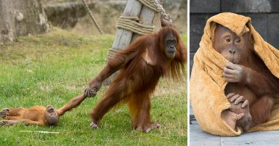 Stroppy Baby Orangutan Throws Tantrum After Being Dragged Away From Playtime By Mother