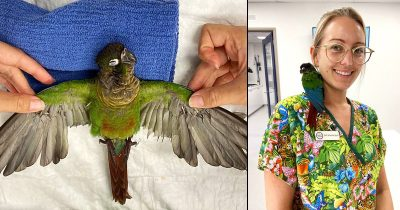 Grounded Young Parrot Flies Again After Vet Gives It A Wing Transplant