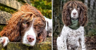 Springer Spaniel With Rockstar Hairdo Wins Thousands Of Fans And Compared To John Lennon From Queen