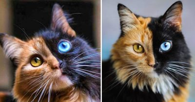 Meet Quimera, The Gorgeous Two-Faced Cat