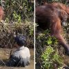 Orangutan Reached Out To Help A Man Stuck In The River As He Protects The Ape From Snakes
