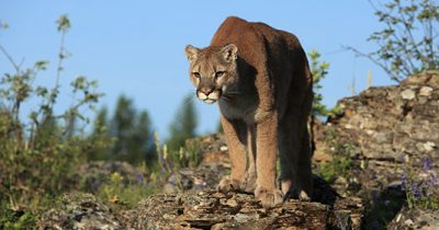 Mountain lion punched in the stomach while dragging a 6-year-old girl.