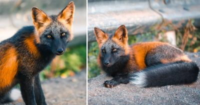 Photographer Captures Beautiful Pictures Of A Cross Fox