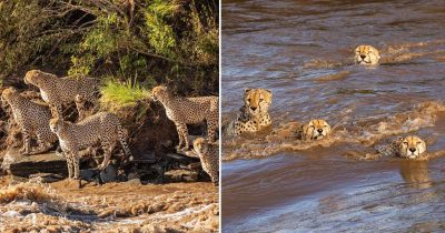 Photographers Witnessed 5 Cheetahs Bravely Crossing A Flooded River Verminous With Crocodiles