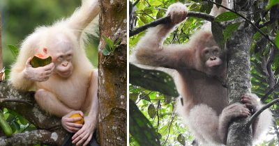 World's Only Albino Orangutan Spotted Alive And Healthy In Borneo Rainforest