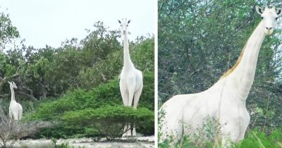 World's Only Female White Giraffe And Her Calf Killed By Poachers
