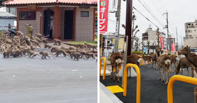 Animals Encroach Cities As People Quarantine Themselves At Home