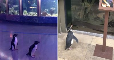 Penguins Explore And Visit Other Animals In Aquarium After It's Closed To Humans