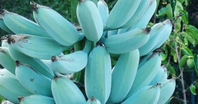 Grow Your Own Blue Java Bananas That Tastes Just Like Vanilla Ice Cream