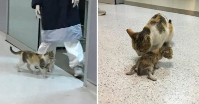 Mom Cat Brought Her Sick Kitten To The Hospital, Doctors Rushed To Help Them