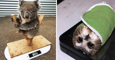 30 Hilarious Tricks Using By Animal Care Workers For Weighing Different Animals