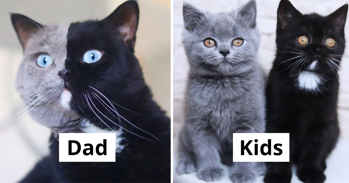 Two-Colored Face Cat Becomes Dad To Kittens That Share His Colors Separately