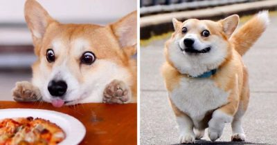 This Corgi From Japan Is Taking Over The Internet For His Hilarious Expressions