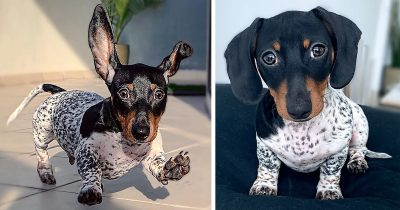 Two-Colored Body Dachshund Goes Viral For Looking Like A Half Dalmatian