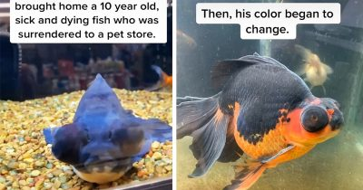 10-Year-Old Dying Goldfish Incredibly Nursed Back To Health