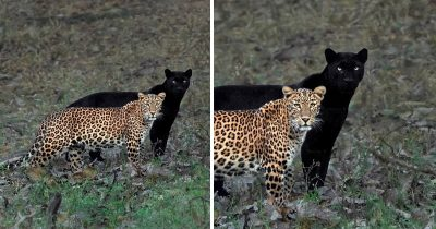 Photographer Captures Amazing Moment Of A Female Leopard Shadowed By A Black Panther